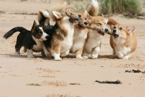 corgis_group_effort_stick
